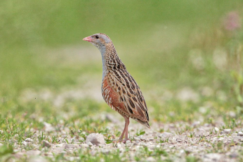 Corncrake_Bird watching_Latvia_idaadventures_escaperies_photo Aivars Petrins
